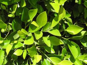 Народное лечение псориаза лавровым листом в домашних условиях